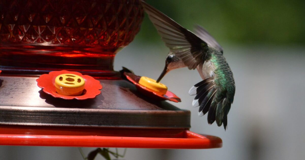 Hummingbirds return to Alabama. Here's how to see them