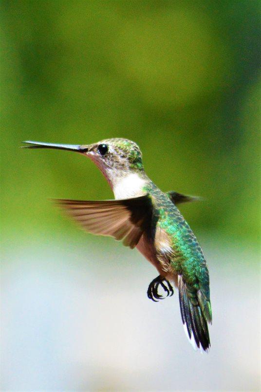 Singular Emerald Coated Ruby Throated Hummingbird