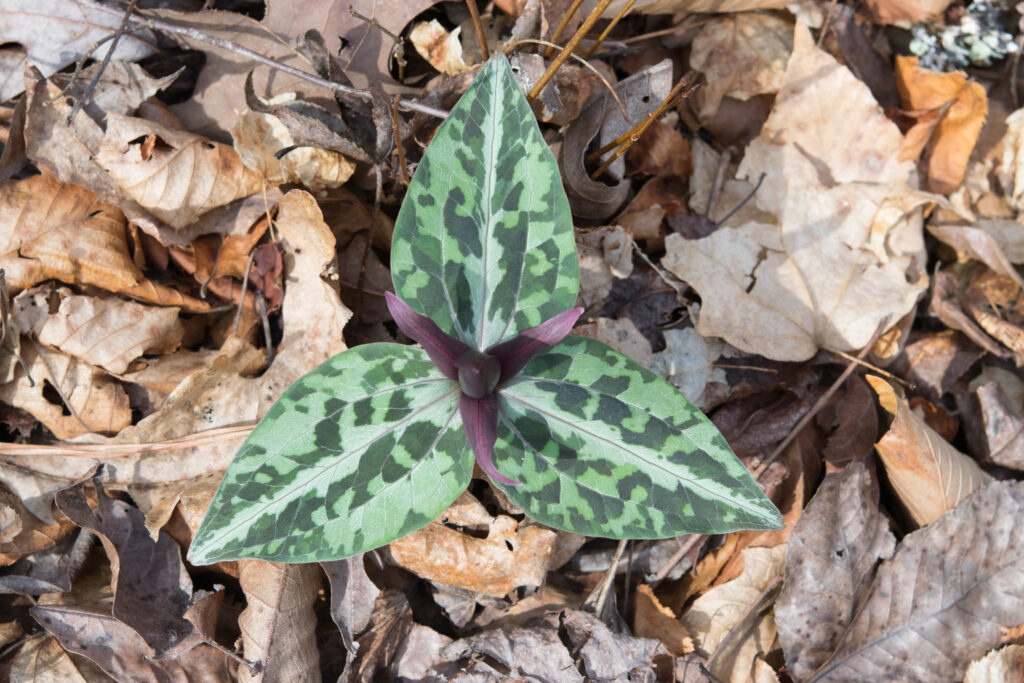 Springephemerals 20150315 105553 Alabama, Flower Hikes, Flowers, Hiking, Outdoor, State Parks, Trails, Wildflower Hikes, Wildflowers