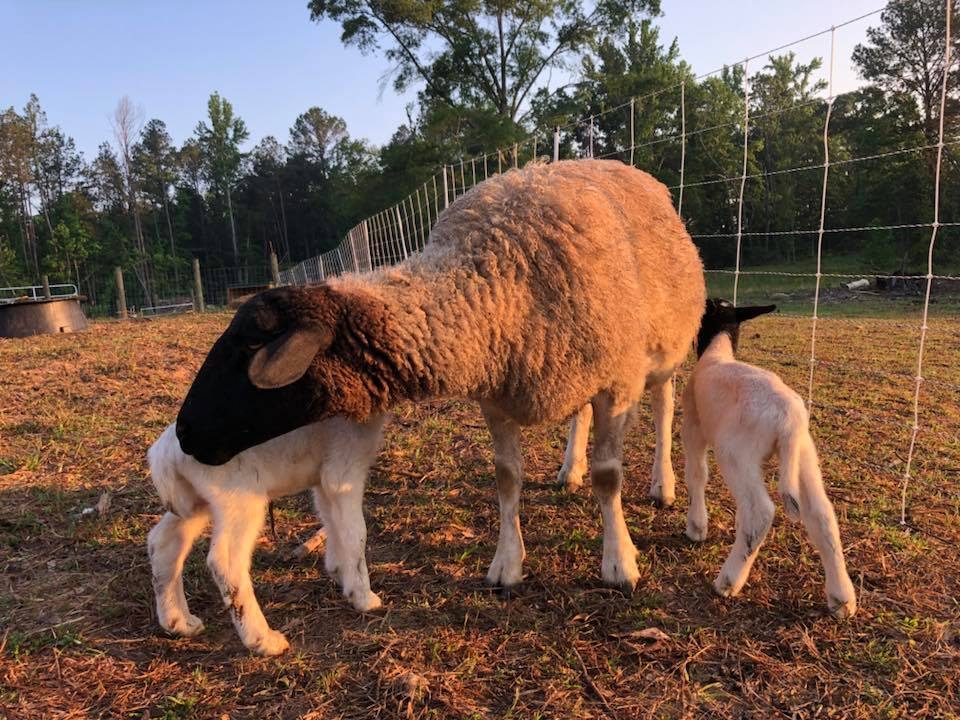 Dorper Fields Farm Sheep