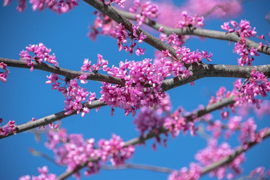 Pink Flowers On Brown Tree Branch During Daytime Eastern Redbud