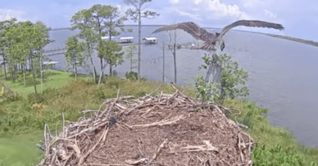 WATCH NOW: Baby Osprey at Wolf Bay in Baldwin County is about to take flight!